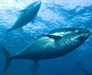 In The Tropical Waters Of Pacific Ocean West Mexico And Central America Large Yellowfin Tuna Swim Together With Several Species Dolphins